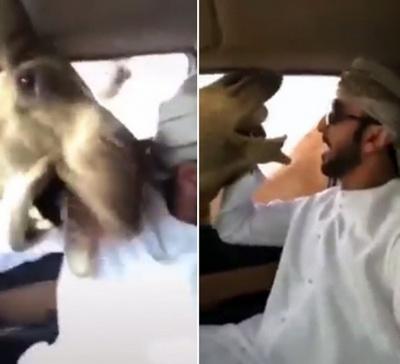 Верблюды атаковали автомобилиста через открытое окно