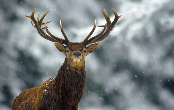 Фотографу удалось заснять редкого трехрогого оленя