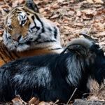 У тигра Амура умер друг козел Тимур