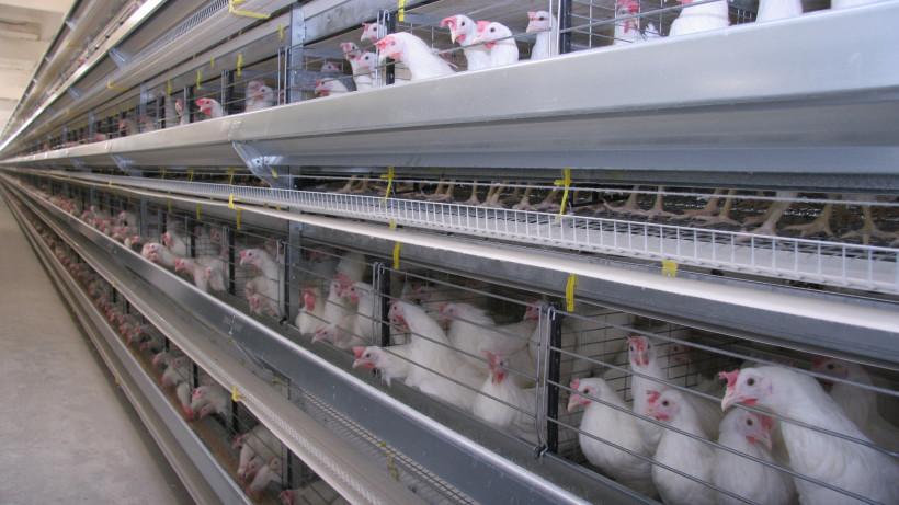 Объем производства птицы в Подмосковье увеличился на 5% с начала года