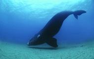 От глобального потепления спасут киты - ученые
