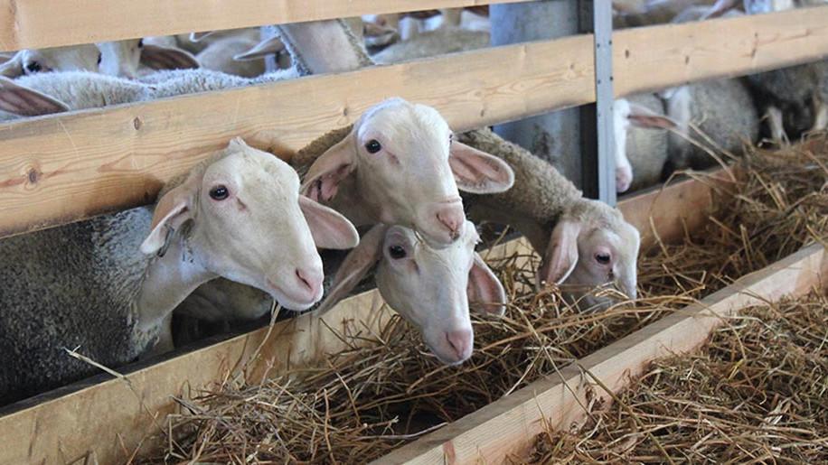 Овечья ферма на 900 голов появится в Наро-Фоминском городском округе в начале 2020 года