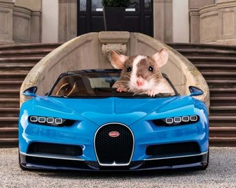 Ученые научили крыс водить автомобиль | Медиакратия