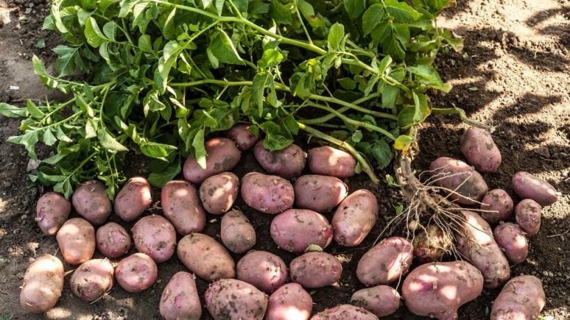 Сбор раннего картофеля стартовал на полях подмосковного сельхозпредприятия «Рота-Агро»