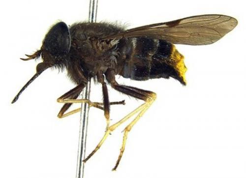 Овод Бейонсе В январе 2012 года был открыт новый вид очень редких оводов. Ученый Брайан Лессард назвал его в честь знаменитой американской певицы Бейонсе – Scaptia beyonceae. По словам ученого, все дело в крохотных золотистых волосках на груди насекомого, именно они напомнили ему о певице.