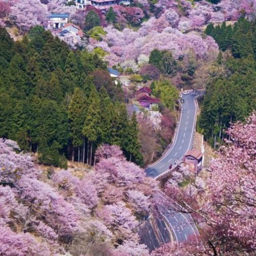 Гора Йосино (Япония) В тот момент, когда ты слышишь, как кто-то говорит про Японию, первое, что приходит на ум, — это сезон цветения сакуры и гора Йосино — лучшее место, чтобы насладиться этим природным шоу. Сама гора похожа на «рай на земле», и поскольку ее покрывают более 30 000 вишневых деревьев, то, посетив ее в мае, ты точно сможешь порадовать себя и своих фолловеров фото, от которых захватывает дух.