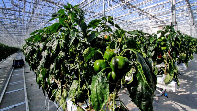 Более 18 тыс. тонн свежих овощей поставят к новогодним праздникам теплицы Подмосковья