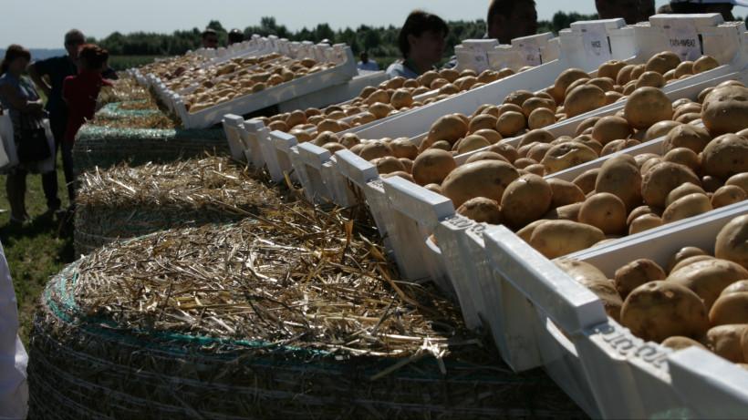 Картофель с рекордной урожайностью 323 центнера с одного гектара собрали в Подмосковье
