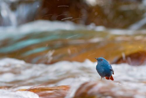 Сизая горихвостка живет на водоёмах с высокой концентрацией насекомых. (Фото Nilanjan Chatterjee | 2019 British Ecological Society Photography Competition):