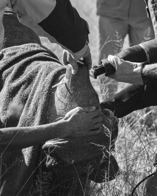 У носорогов часто обрезают рога смотрители парков, чтобы их не убили браконьеры. (Фото Molly Penny | 2019 British Ecological Society Photography Competition):