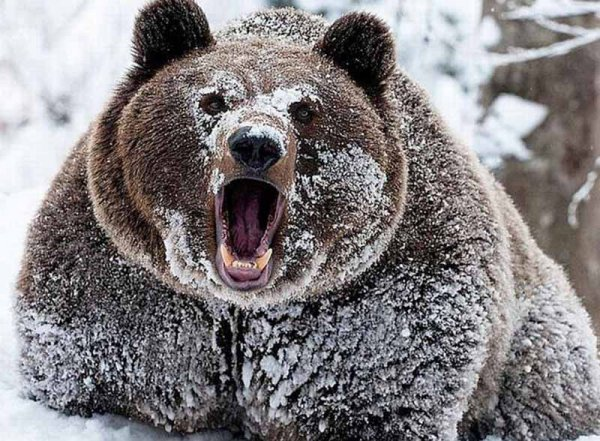 Под Иркутском медведь-шатун залез в дом через окно, съел мужчину и сбежал