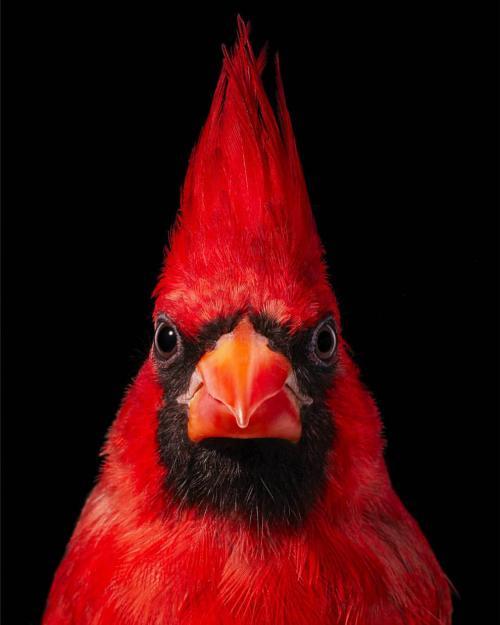 Красный кардинал. Красная птица с хохолком: