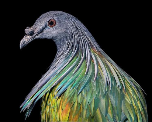 Гривистый голубь — единственный из живущих ныне гривистых голубей.