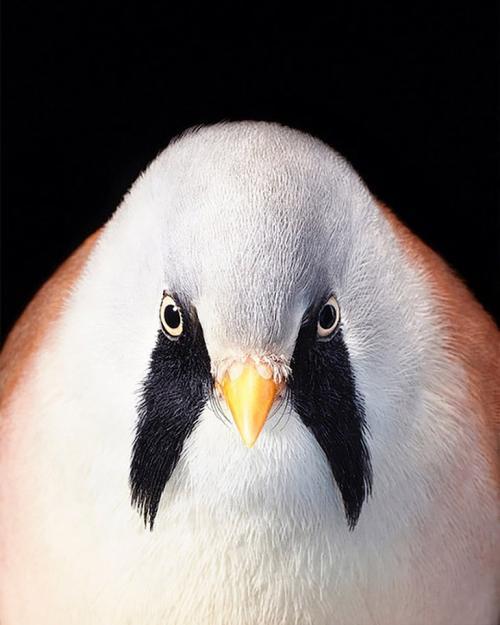 Усатая синица из вида воробьиных птиц: