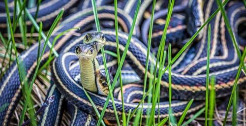 Подвязочные змеи Эти родственники наших обыкновенных ужей обитают в Северной Америке, от Канады до Мексики. У подвязочных змей время любви наступает сразу после окончания зимней спячки. Едва очнувшиеся после глубокого сна самцы ищут самок, образуя вокруг них «брачные клубки». При этом некоторые самцы подвязочных змей начинают имитировать запах самок.