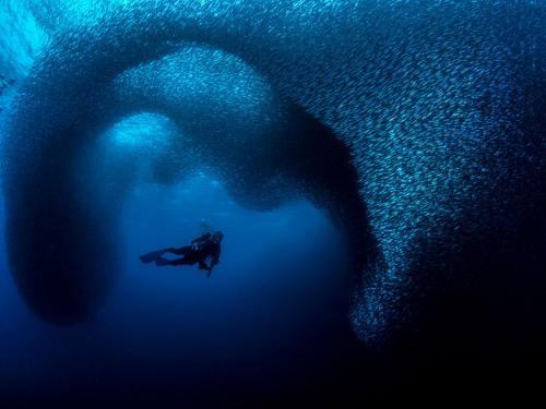Размеры косяков сардин составляют более 7 км в длину, 1,5 км в ширину и 30 м в глубину, из-за чего за процессом можно наблюдать как с самолёта, так и с берега. (Фото George Kuo-Wei Kao | Ocean Art):