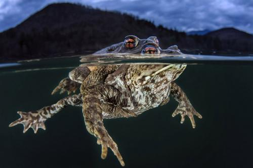 Чем отличаются жабы и лягушки? Визуальное отличие одних от других состоит в том, что кожа жаб бородавчатая. (Фото Claudio Zori | Ocean Art):