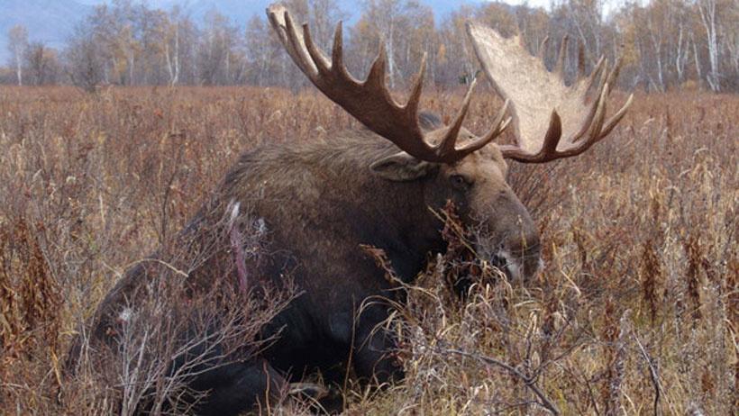 Осенне-зимний сезон охоты на лосей в Подмосковье завершится 15 января