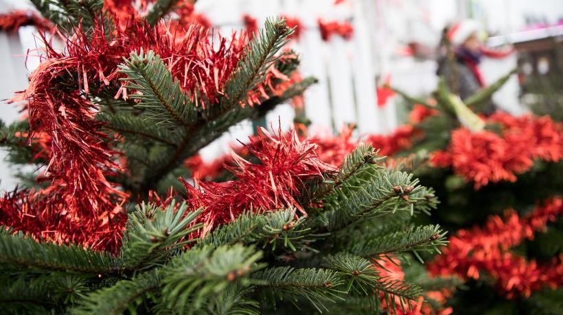 Почти 1 тыс. елок срубили к Новому году в питомниках Московской области