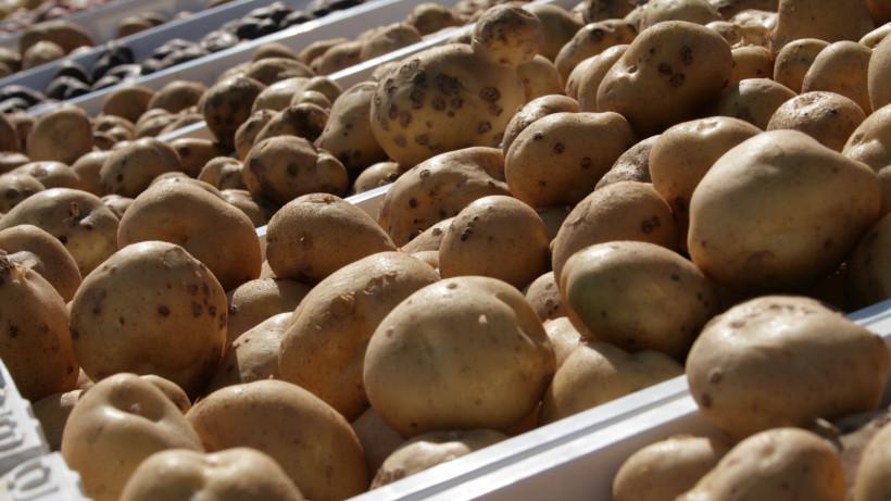 Подмосковье поднялось на третье место по сбору картофеля в России