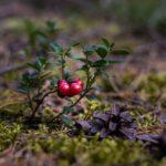 Познавательный час «Растет клюковка на болоте»