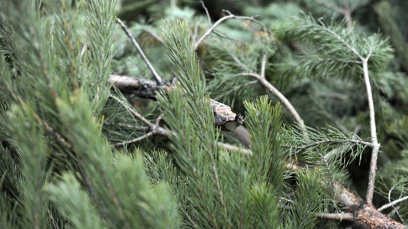 Ущерб от нелегальной вырубки елей в лесах Московской области оценили в 100 тыс. рублей