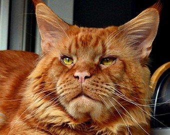 Воры вернули хозяевам прожорливого кота