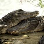 Выставка «В африканской речке Нил жил зелёный крокодил»
