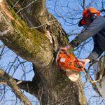 В Москве делают деревьям обрезание