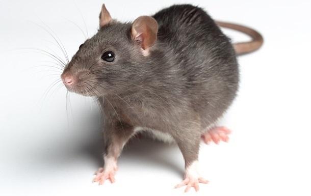 Крысы с чипом в мозгу могут учуять рак