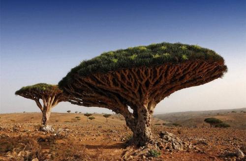 Очень редкое дерево — оно называется «Кровь Дракона» — в Йемене. (Фото: Oleg Znamenskiy).