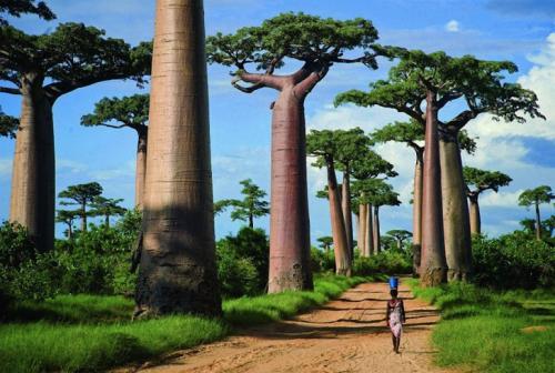 Аллея баобабов на Мадагаскаре. (Фото: Mizzy Pacheco).