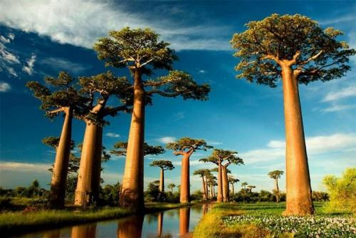 Растущие на Мадагаскаре баобабы могут принимать форму бутылки или чайника. С чем это связано учёные точно не знают, но предполагают, что столь странный вид позволяет лучше сохранять влагу.