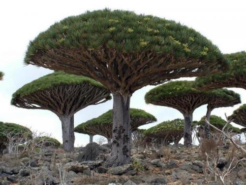 Кроме яркой внешности деревья прославились и своим колоссальным ростом. Он может достигать семидесяти метров в высоту.