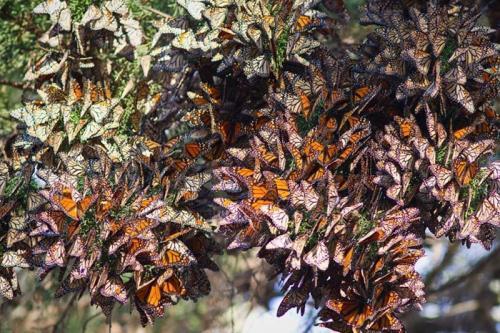 Миграция бабочки Монарха Бабочки Монарх — одни из самых красивых существ, которые вызывают чувство восхищения и любви. Эти бабочки демонстрируют яркое соединение оранжевых и черных цветов, и часто встречаются в США, Мексике и Меланезии (к северо-востоку от Австралии). Однако, когда дело доходит до наблюдения за монархами, самое лучшее место находится в США во время их миграции Монарха из Канады в Мексику и назад. Например, во время пешей прогулки в парках Калифорнии, Вы можете быть свидетелем многочисленных деревьев, ветви и листья которых заштрихованы в оранжевые и черные цвета, потому что деревья усеяны бабочками Монархами.