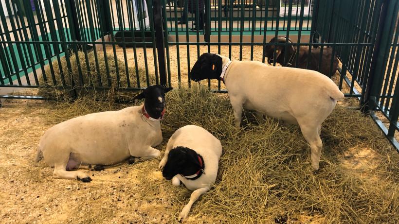 Ветеринары систематически осматривают всех животных на выставке «АгроФарм – 2020»