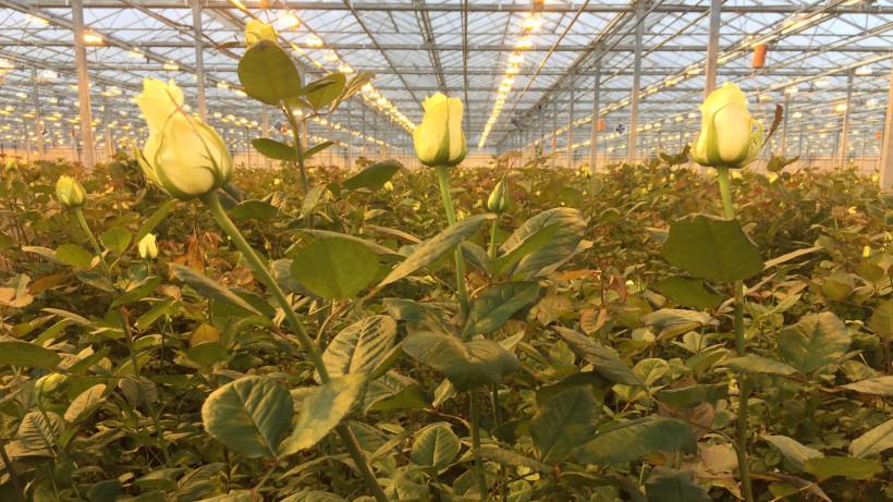 Более 3 млн штук цветов поставили в магазины тепличные комплексы Подмосковья к 8 марта