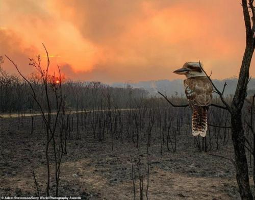 Адам Стивенсон, Австралия — «Кукабарра, глядящая на лесной пожар»