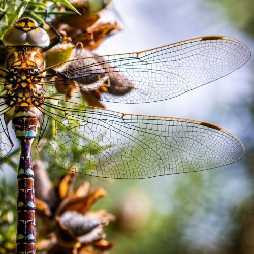 Стрекоза. Это отряд древних летающих насекомых, насчитывающий в мировой фауне свыше 6650 видов. Стрекозы — активные специализированные хищники, которые питаются насекомыми, пойманными на лету. Представители отряда широко распространены по миру, встречаясь на всех материках, исключая Антарктиду. (Фото Jonathan Green   2020 UK National Parks Photography Competition):