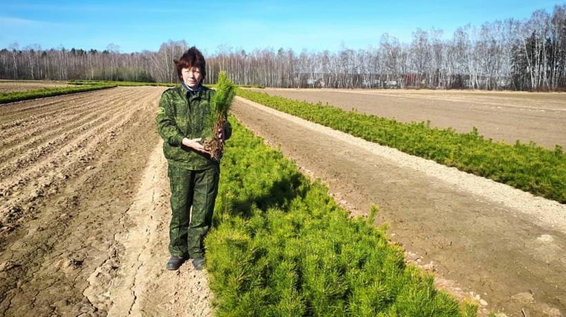 Четыреста тысяч сеянцев сосны высадят в Раменском округе