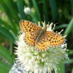Онлайн-лекция «Бабочки Ульяновской области»