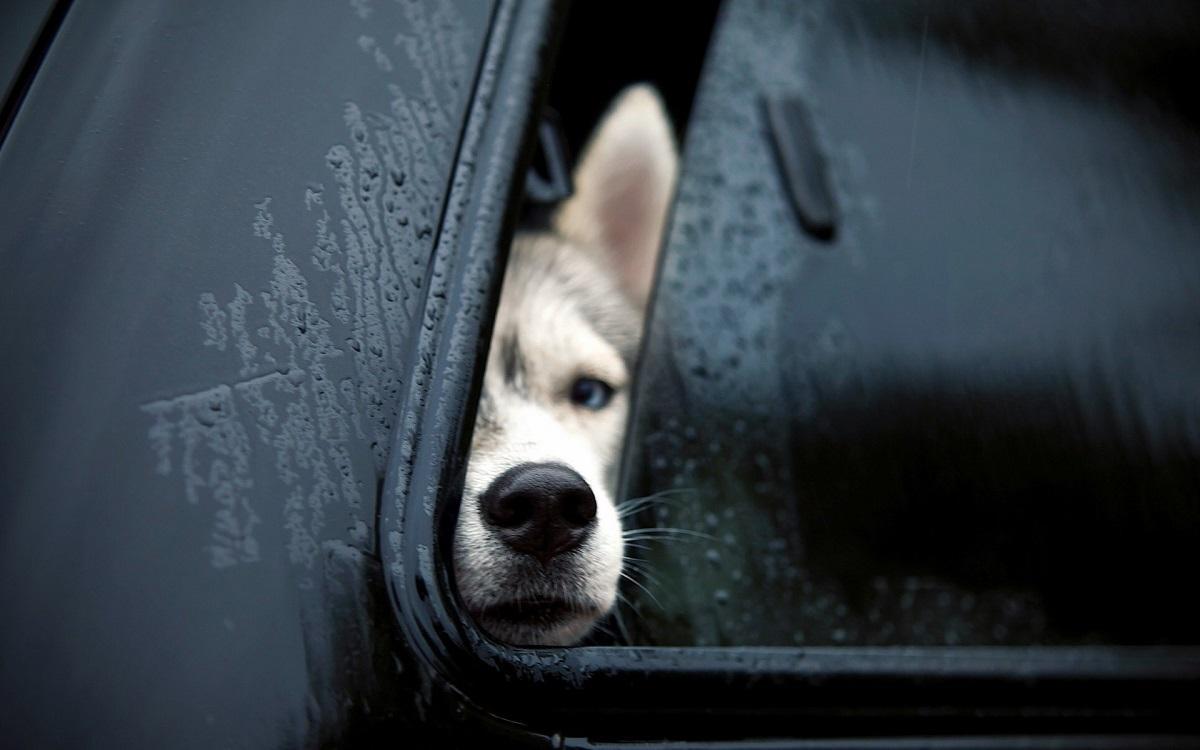 собака в авто
