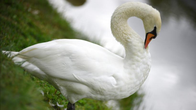 Лебеди вернулись на озеро Круглое в Дмитровском округе впервые с середины прошлого века