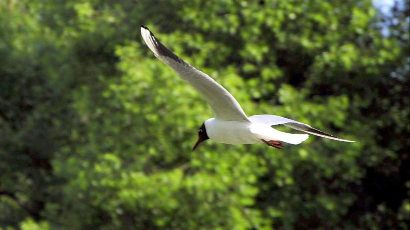 Ученые оценят риски от обитания большой колонии озерных чаек в парке «Лосиный остров»