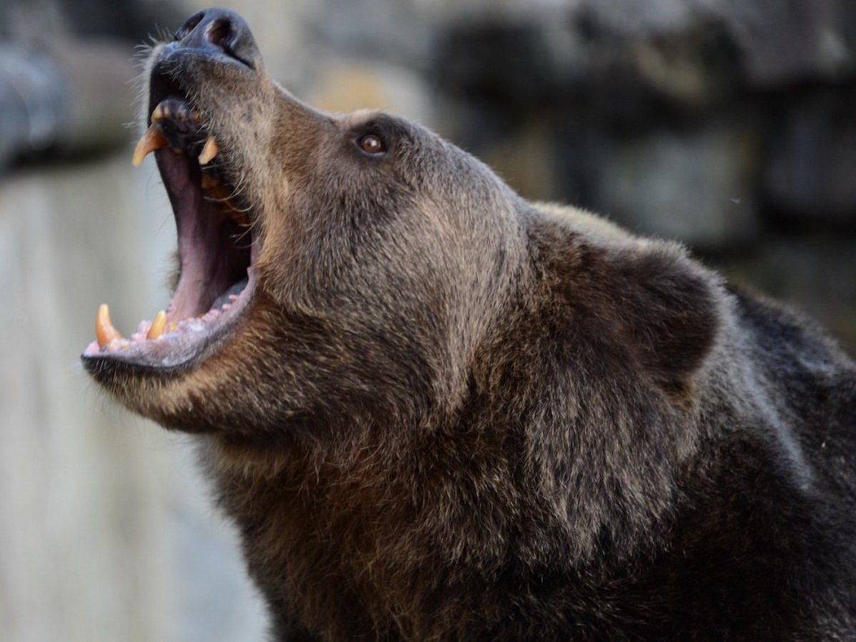 Медведь напал