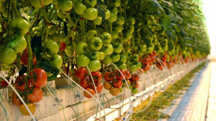 Более 55,5 тыс. тонн овощей собрали в тепличных хозяйствах Подмосковья с начала года