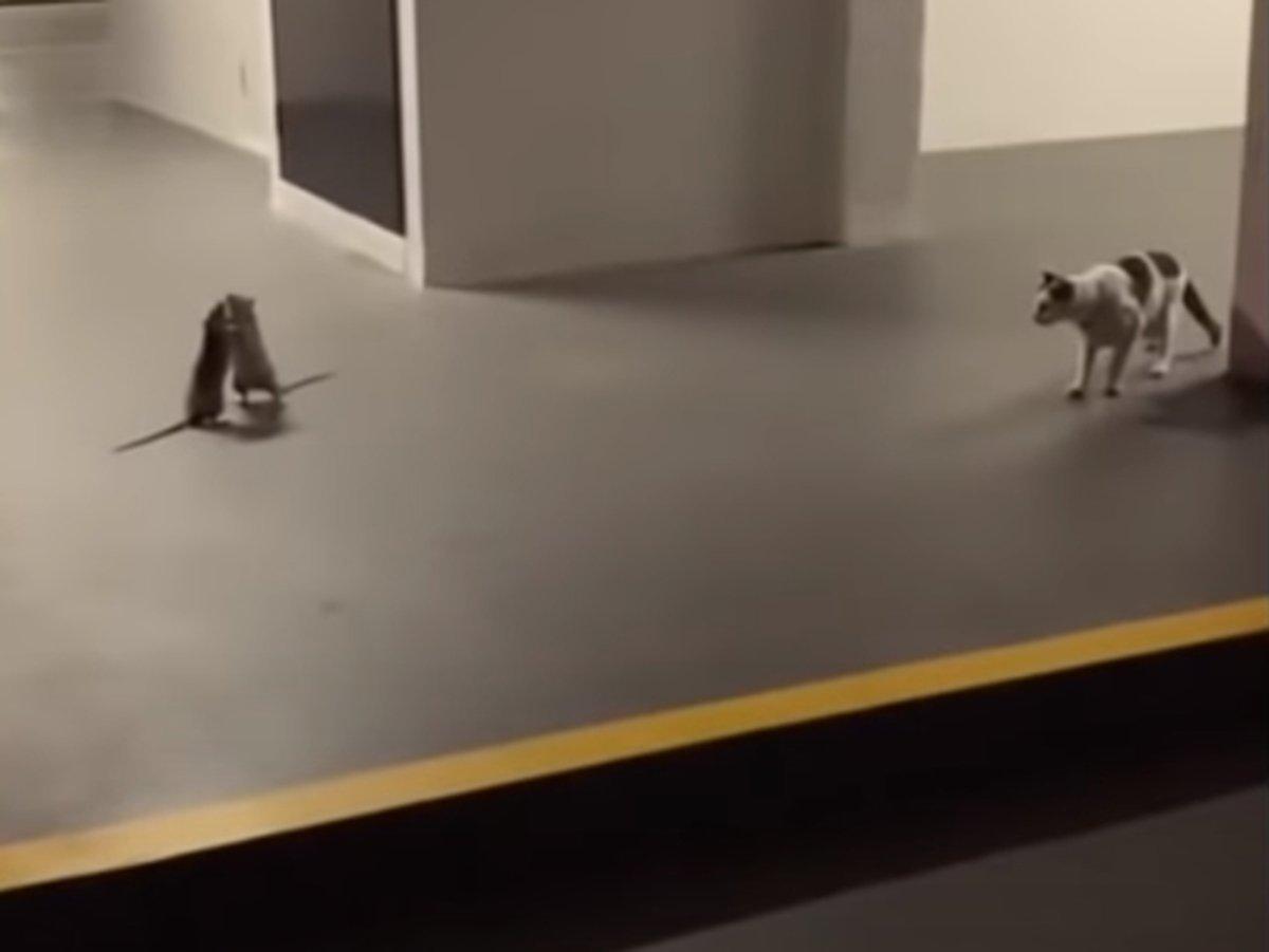 Драка двух крыс шокировала кота и насмешила Сеть