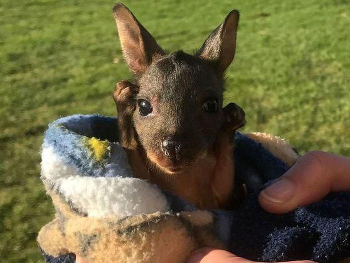 Детеныш кенгуру