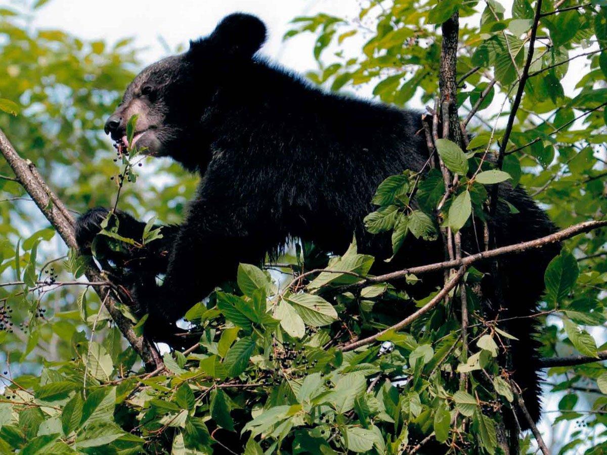 Медведь, крадущий мед из дупла в Приморье, стал звездой в Сети