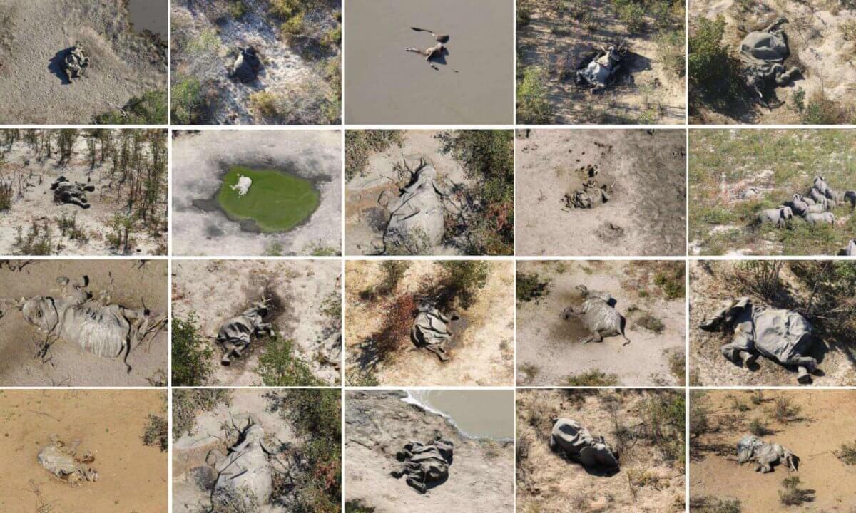 Массовая гибель слонов в Африке